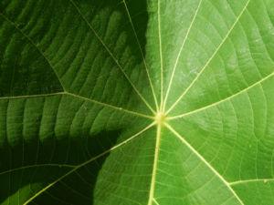 Golden Bouquet Baum Blatt gruen Deplanchea tetraphylla 02