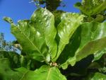 Golden Bouquet Baum Blatt gruen Deplanchea tetraphylla 04