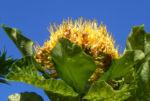Golden Bouquet Baum Bluete gelb Deplanchea tetraphylla 01
