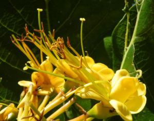 Golden Bouquet Baum Bluete gelb Deplanchea tetraphylla 03