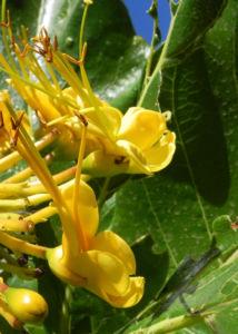 Golden Bouquet Baum Bluete gelb Deplanchea tetraphylla 04