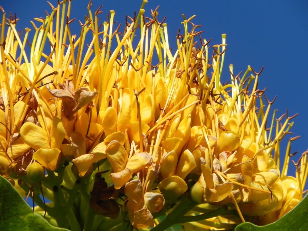 Golden Bouquet Baum Bluete gelb Deplanchea tetraphylla
