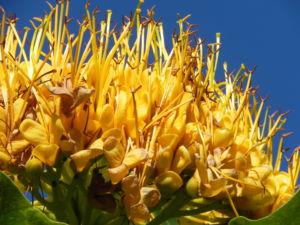 Golden Bouquet Baum Bluete gelb Deplanchea tetraphylla 10