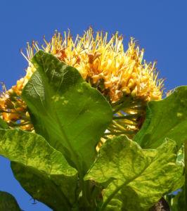 Golden Bouquet Baum Bluete gelb Deplanchea tetraphylla 12