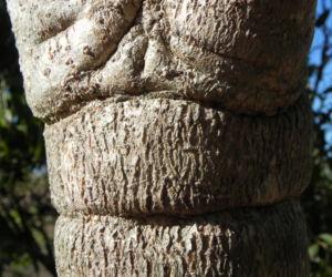 Golden Bouquet Baum Stamm Rinde grau Deplanchea tetraphylla 01