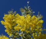Golden Wattle Akazie Bluete gelb Acacia pycnantha 07