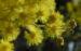 Zurück zum kompletten Bilderset Gold-Akazie Blüte gelb Blatt grün Rinde grau Acacia pycnantha
