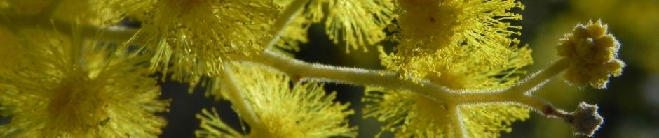 gold-akazie-bluete-gelb-blatt-gruen-rinde-grau-acacia-pycnantha