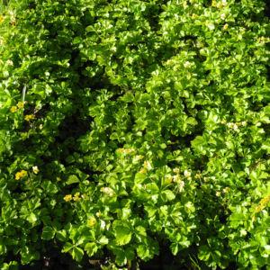 Golderdbeere Blatt Bluete Waldsteinia fragarioides 01