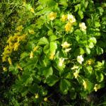 Golderdbeere Blatt Bluete Waldsteinia fragarioides 02