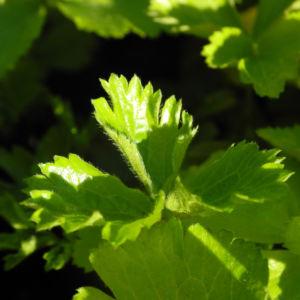 Golderdbeere Blatt gruen Waldsteinia fragarioides 02