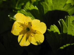 Golderdbeere Bluete gelb Waldsteinia fragarioides 01