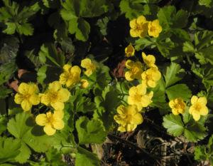 Golderdbeere Bluete gelb Waldsteinia fragarioides 03