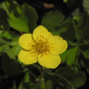 Golderdbeere Bluete gelb Waldsteinia fragarioides 04