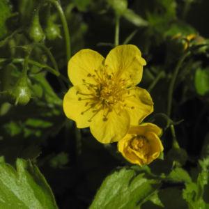 Golderdbeere Bluete gelb Waldsteinia fragarioides 05