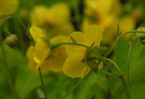 Bild: Golderdbeere Bluete gelb Waldsteinia fragarioides