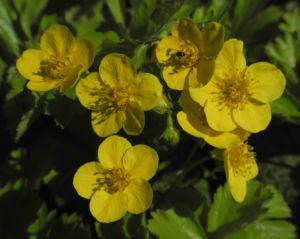 Golderdbeere Bluete gelb Waldsteinia fragarioides 08