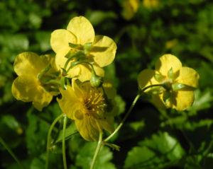 Golderdbeere Bluete gelb Waldsteinia fragarioides 09