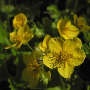 Golderdbeere Bluete gelb Waldsteinia fragarioides 12