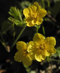 Golderdbeere Bluete gelb Waldsteinia fragarioides 13