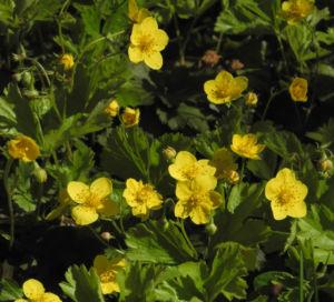 Golderdbeere Bluete gelb Waldsteinia fragarioides 17