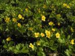 Bild: Golderdbeere Blüte gelb Waldsteinia fragarioides