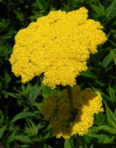 Goldgarbe Gold Schafgarbe Bluete gelb Achillea filipendulina 01