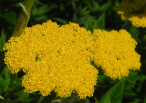 Goldgarbe Gold Schafgarbe Bluete gelb Achillea filipendulina 03
