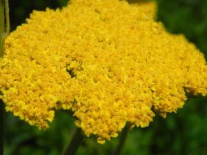 Goldgarbe Gold Schafgarbe Bluete gelb Achillea filipendulina 04