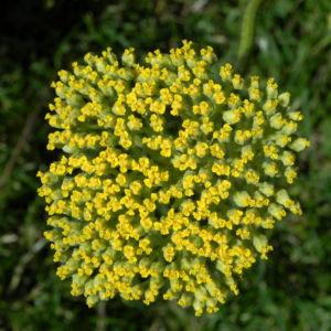 Goldgarbe Gold Schafgarbe Bluete gelb Achillea filipendulina 09