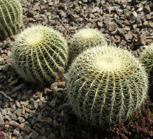 Goldkugelkaktus Kaktus grün Stacheln hellgelb Echinocactus grusonii