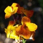 Bild: Goldlack Blüte gelb orange Erysimum cheiri