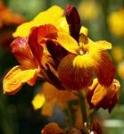 Goldlack Bluete gelb orange Erysimum cheiri 04