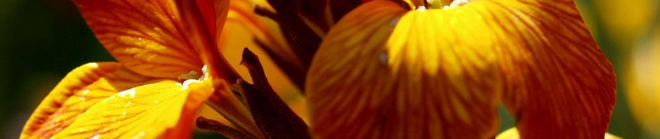 goldlack-bluete-gelb-orange-erysimum-cheiri