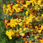 Goldlack Bluete gelb orange Erysimum cheiri 11