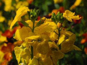 Goldlack Bluete gelb Erysimum cheiri 05