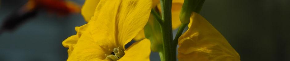 goldlack-bluete-gelb-erysimum-cheiri