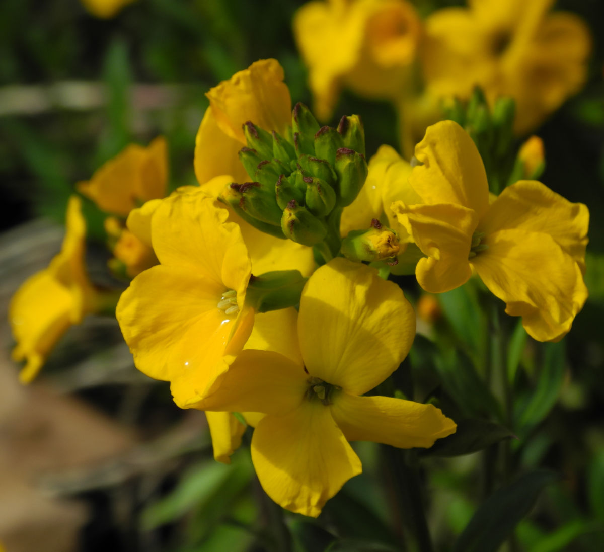 Goldlack Bluete gelb Erysimum cheiri
