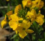 Goldlack Bluete gelb Erysimum cheiri 09