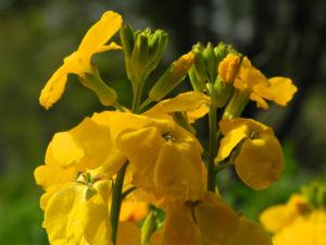 Goldlack Bluete gelb Erysimum cheiri 11