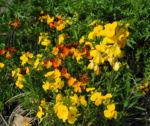 Bild: Goldlack Blüte gelb Erysimum cheiri