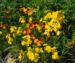 Zurück zum kompletten Bilderset Goldlack Blüte gelb Erysimum cheiri
