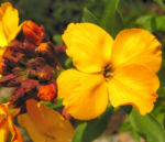 Bild: Goldlack Blüte orange Erysimum cheiri