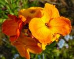 Goldlack Bluete orange Erysimum cheiri 04