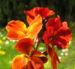 Zurück zum kompletten Bilderset Goldlack Blüte rot Erysimum cheiri