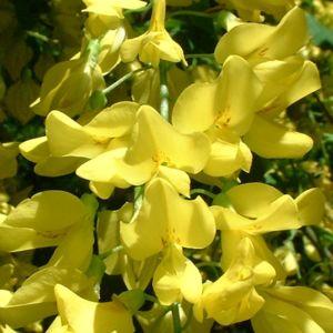 Goldregen Bluete Laburnum anagyroides 02