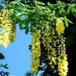 Bild:  Gemeiner Goldregen Blüte gelb Laburnum anagyroides