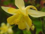 Goldsporn Akelei Bluete gelb Aquilegia chrysantha02