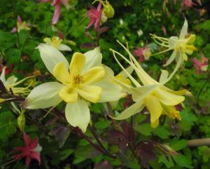 Goldsporn Akelei Bluete gelb Aquilegia chrysantha03