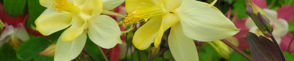 goldsporn-akelei-bluete-gelb-aquilegia-chrysantha